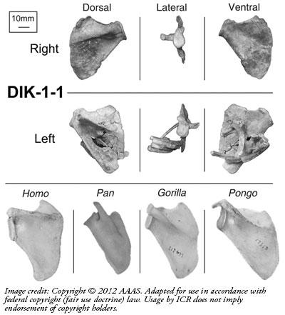 Australopithecus-evolutsioon-Lily