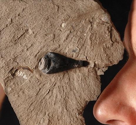 Kalmaari-fossiilid-tint-dna
