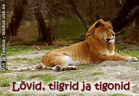 Lovi-lovid-tiiger-tiigrid-tigon