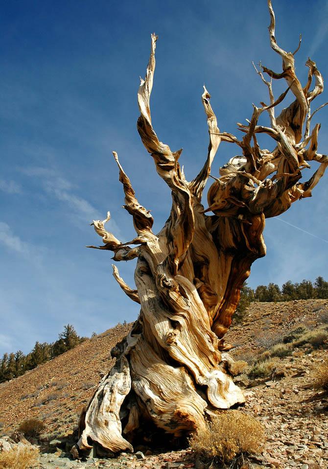 maailmna-vaimad-puud-vanim-puu