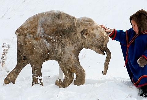 Mammut-mammutid-kylmunud2